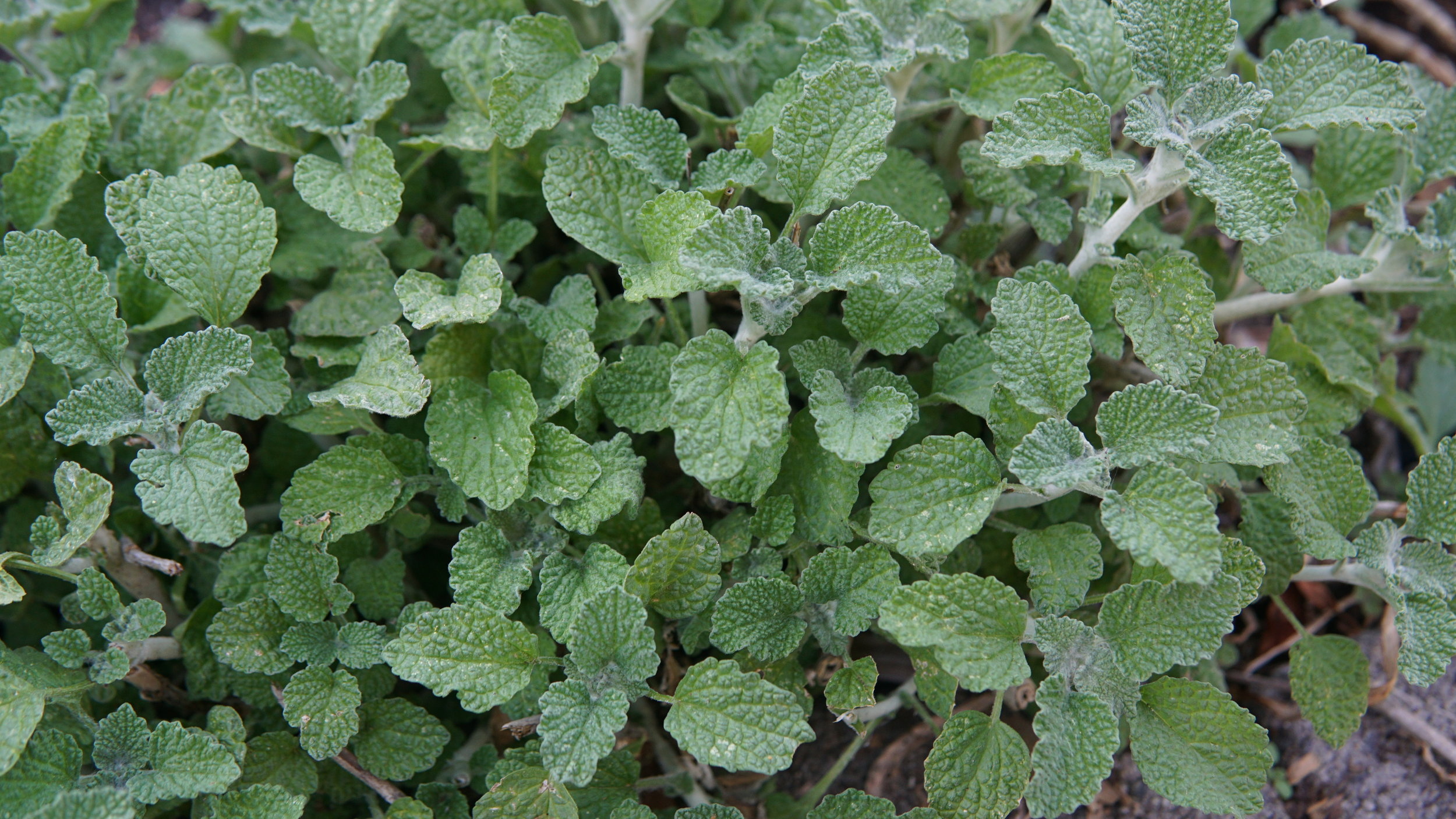 horehound leaves with lisa marie holmes