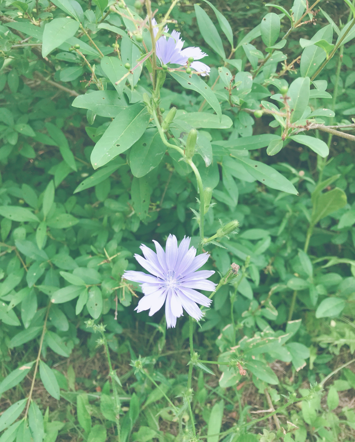 chicory with lisa marie holmes