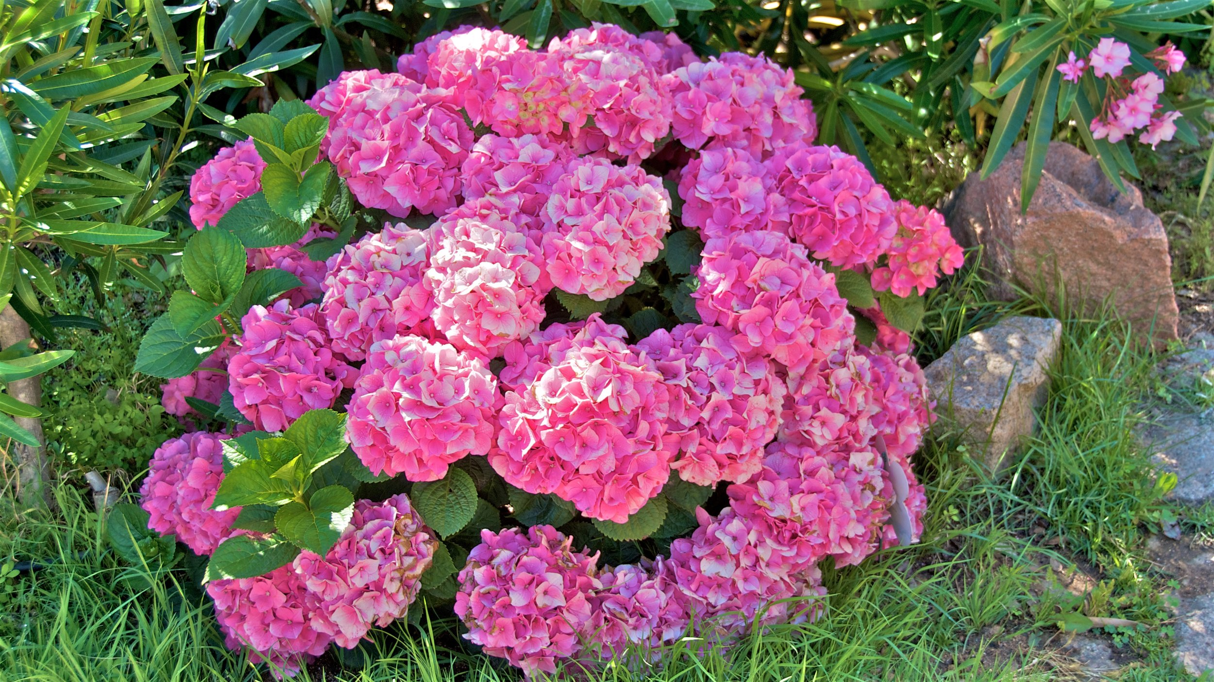 Hortensia, the signature flower of the property