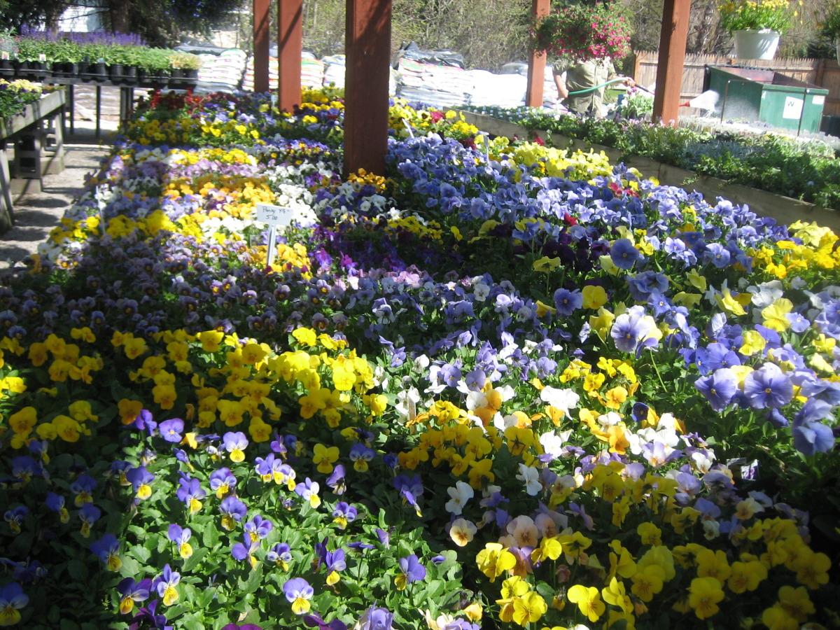 spring+pansies.jpg