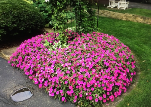 Bounce Impatiens in a customers yard.