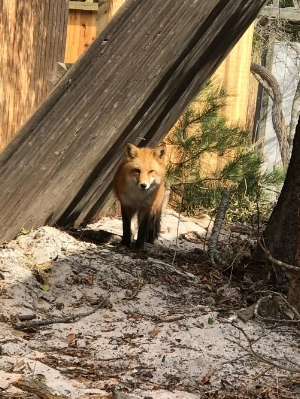 Freddie The Fox has been visiting The Co-ops regularly this spring.