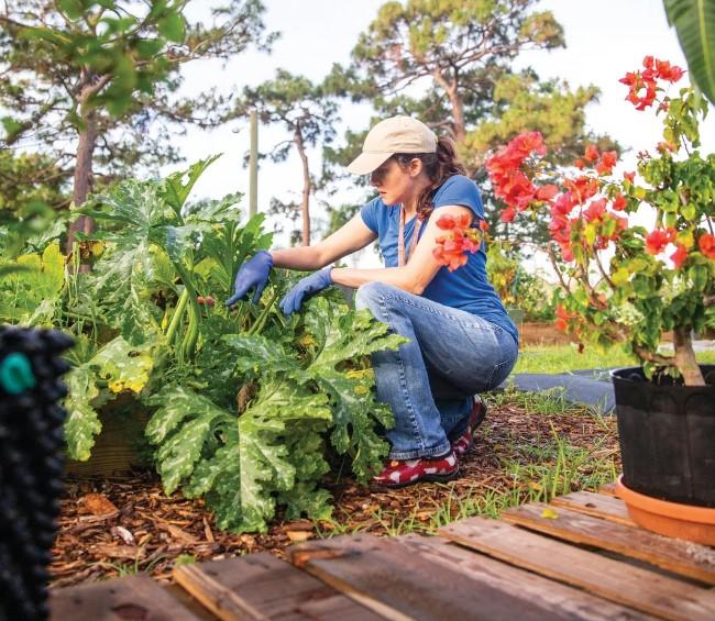 Community and school garden coordinator Mindy Hanak tends a zucchini plant at Bee Ridge's garden.  IMAGE:  KAREN ARANGO