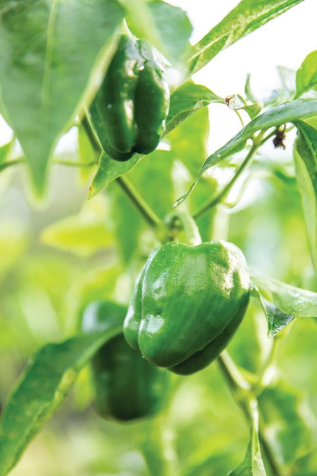 Peppers growing in a community garden.  IMAGE:  KAREN ARANGO