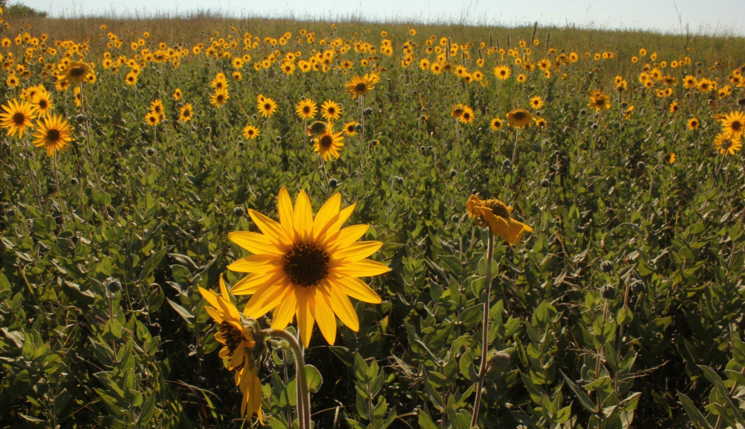 BS ashy sunflowers (Helianthus mollis)  Marker Prairie 8-2017 (5).jpg