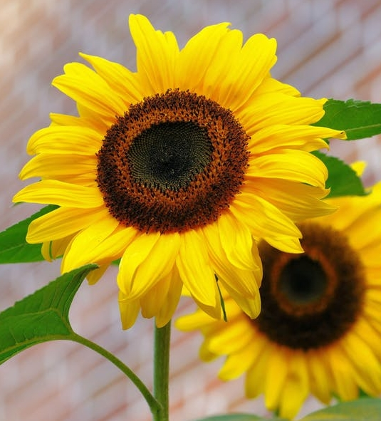 sunflower-flowers-bright-yellow-46216.jpeg