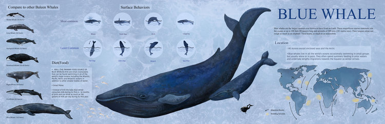 bluewhalefinal.jpg