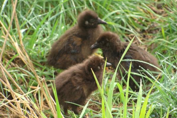 Weka chicks at Lansdowne Valley
