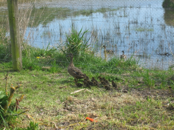 Ducklings at Landsowne Valley