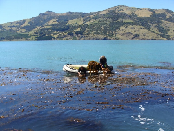 Copy of Giant Kelp Harvesting 084.jpg