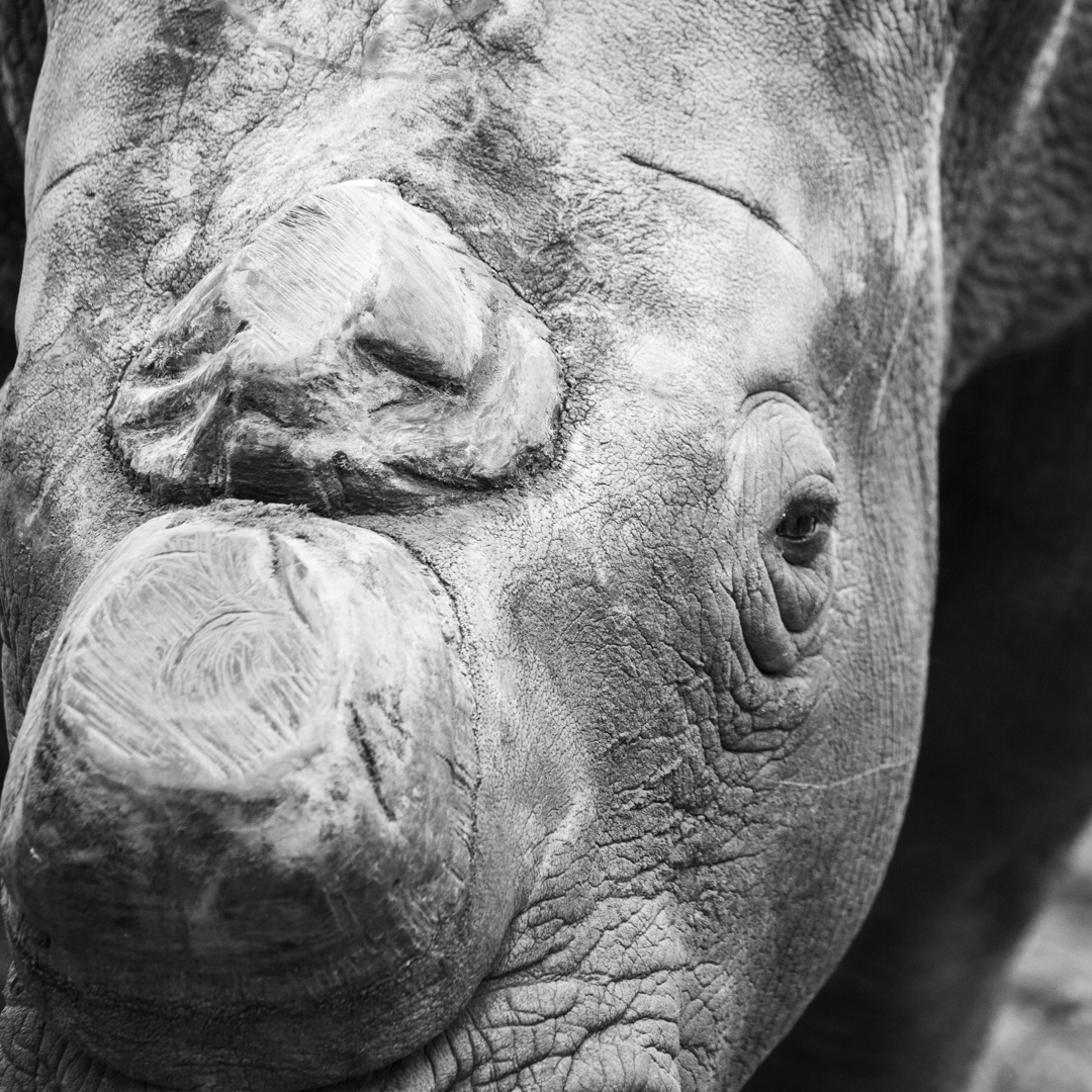 Close-up of dehorned White Rhino in monochrome.jpg