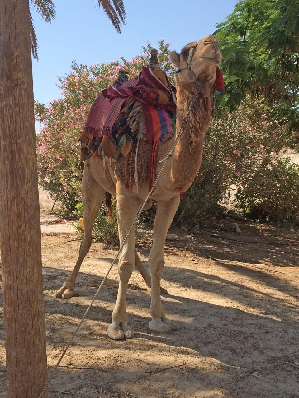 A Camel!