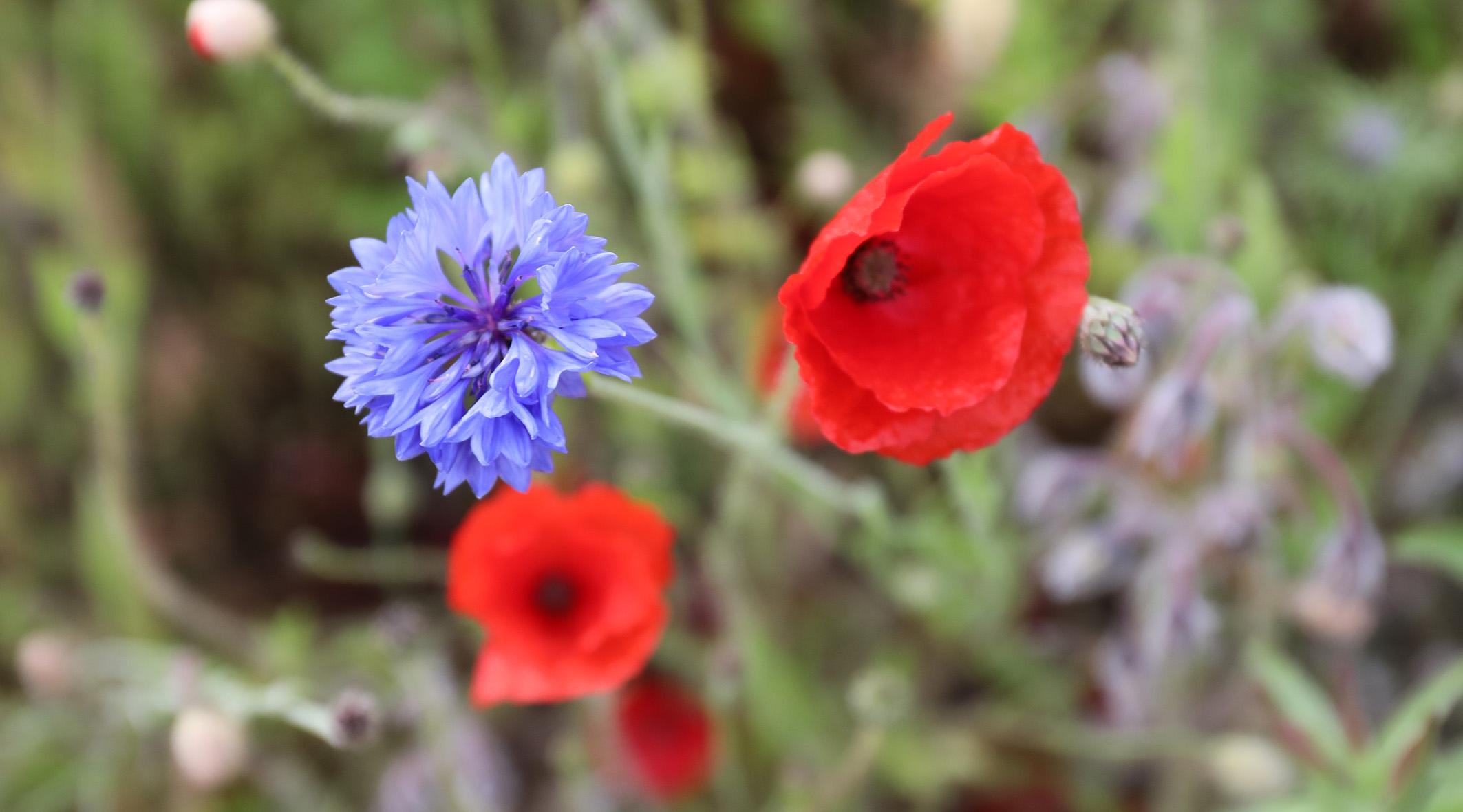 7I0A4001poppycornflower.jpg