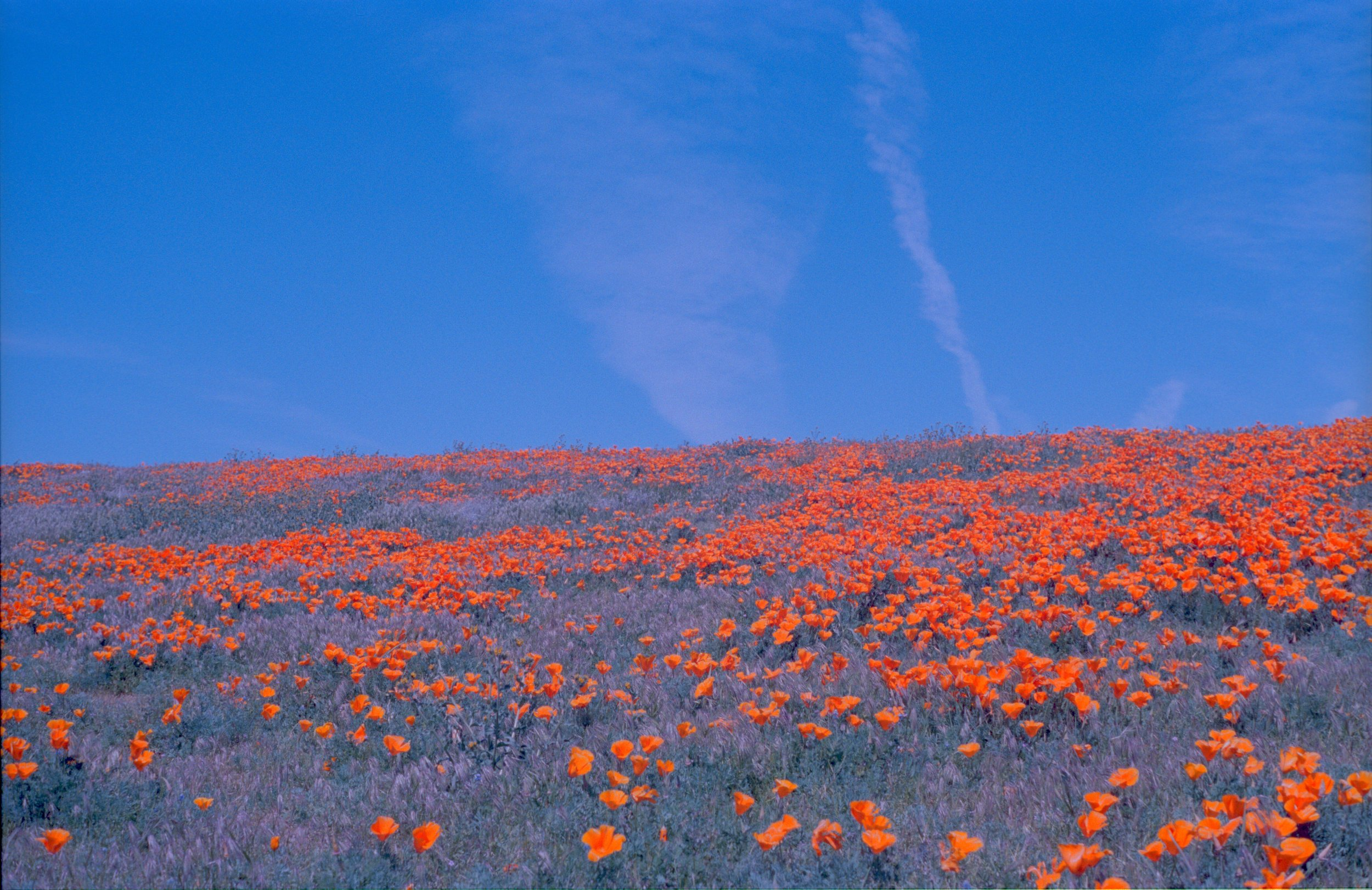 antelope valley, super bloom ii