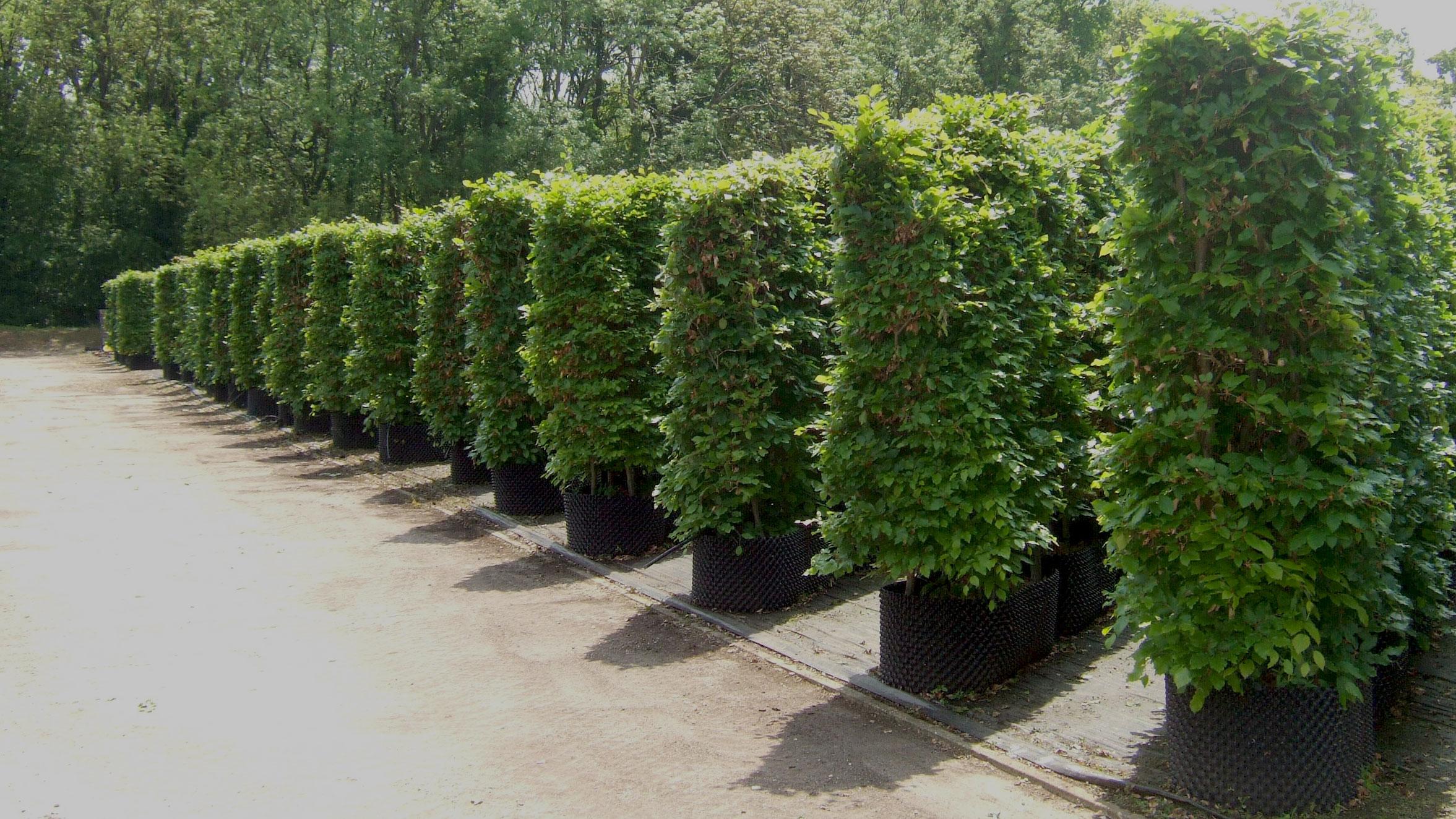 hampshire-hedges-beech-summer-01.jpg