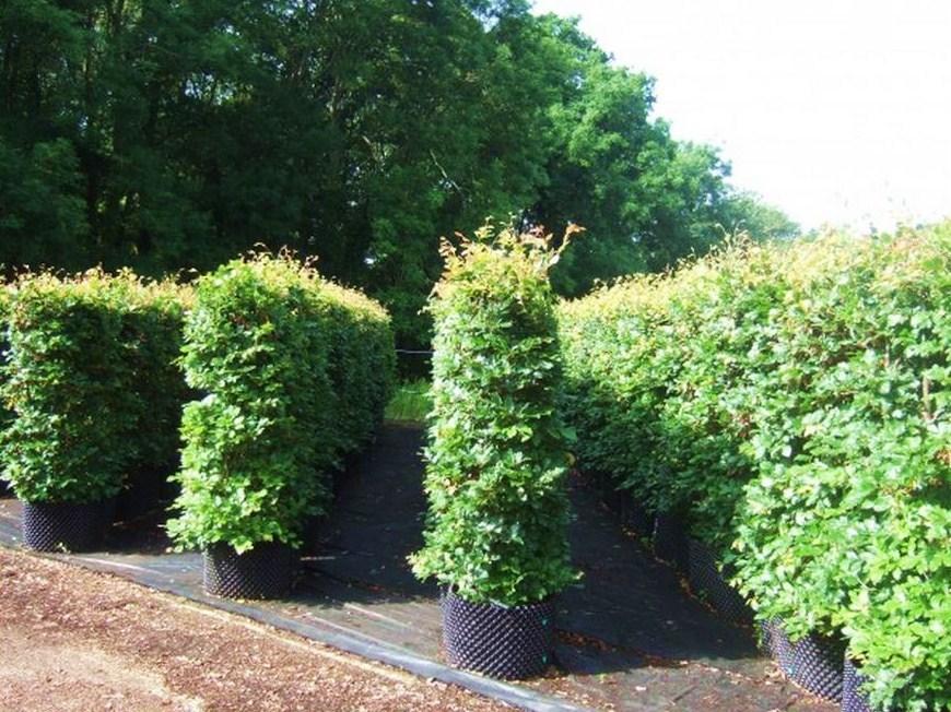 hampshire-hedges-beech-summer-oldsite-01.jpg