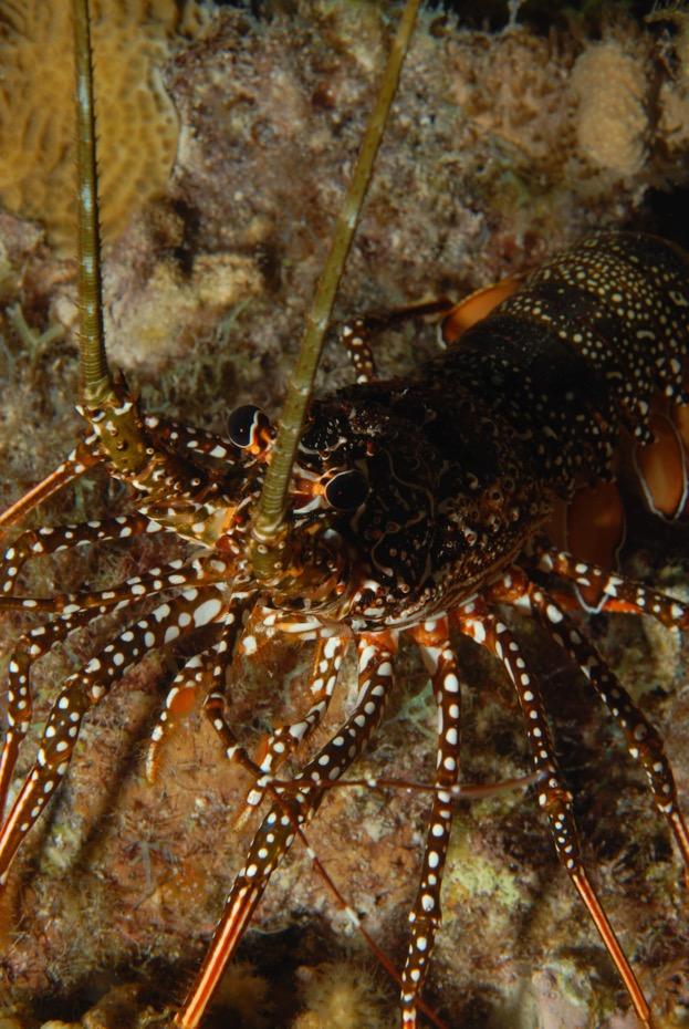 Caribbean Lobster Bonaire
