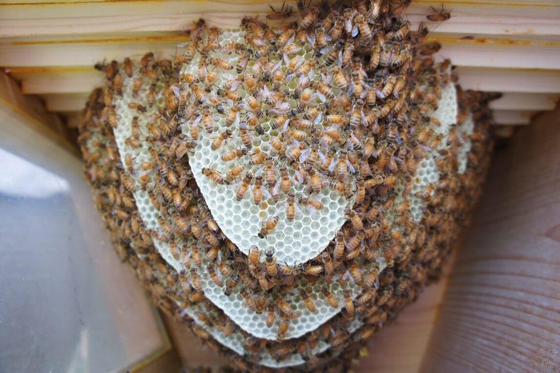 New comb inside a top bar hive.