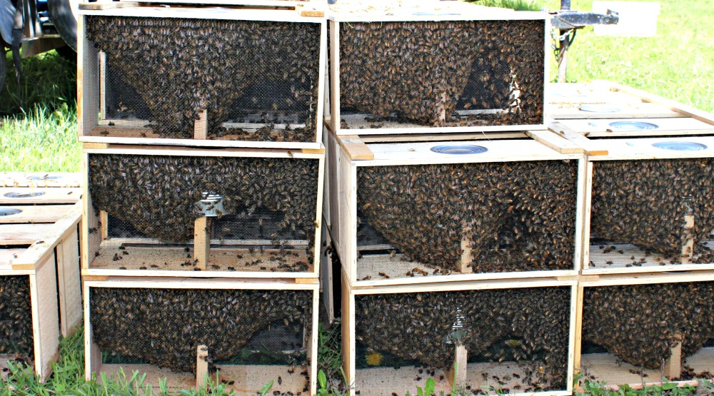 Packages of bees waiting for a new home