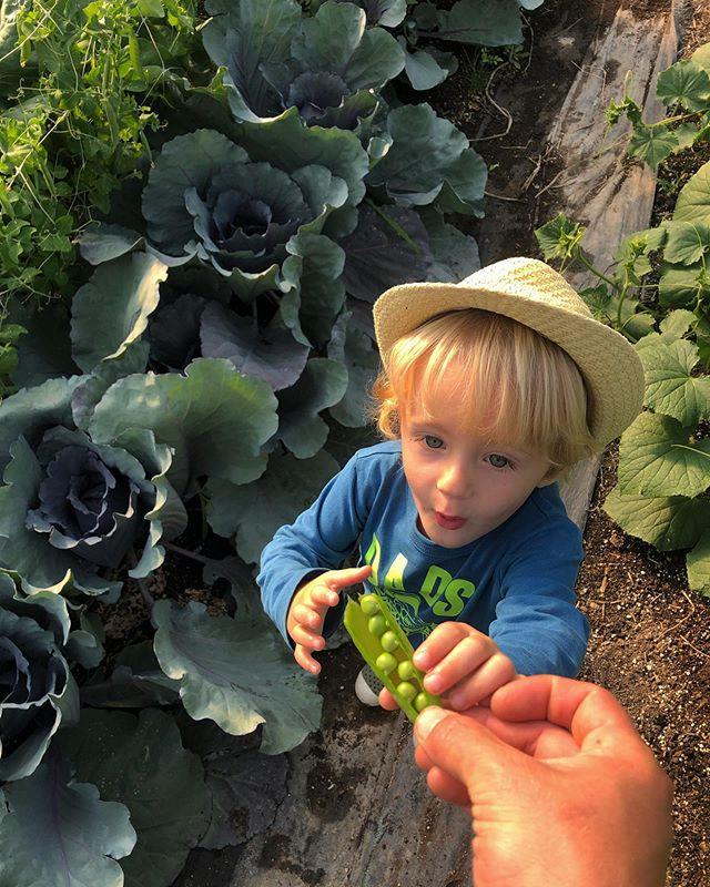 Boy loves his peas • • • #howdoyougetpeas #haldimandcounty #organicfarm #smallscale #cayugarising #farmtocafe