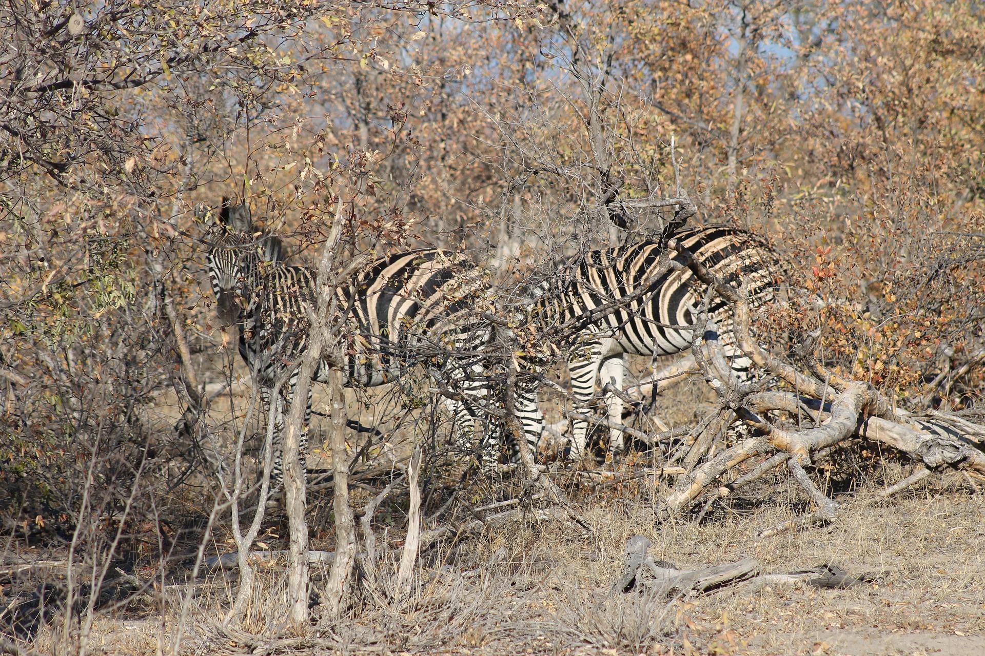 zebra-2691945_1920.jpg