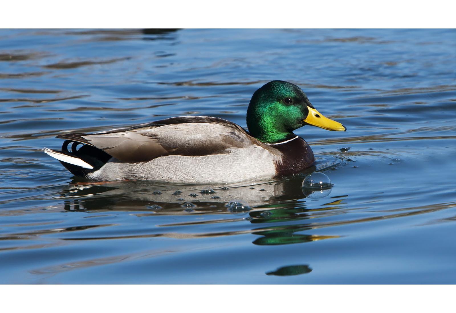 mallard-male-swimming.jpg