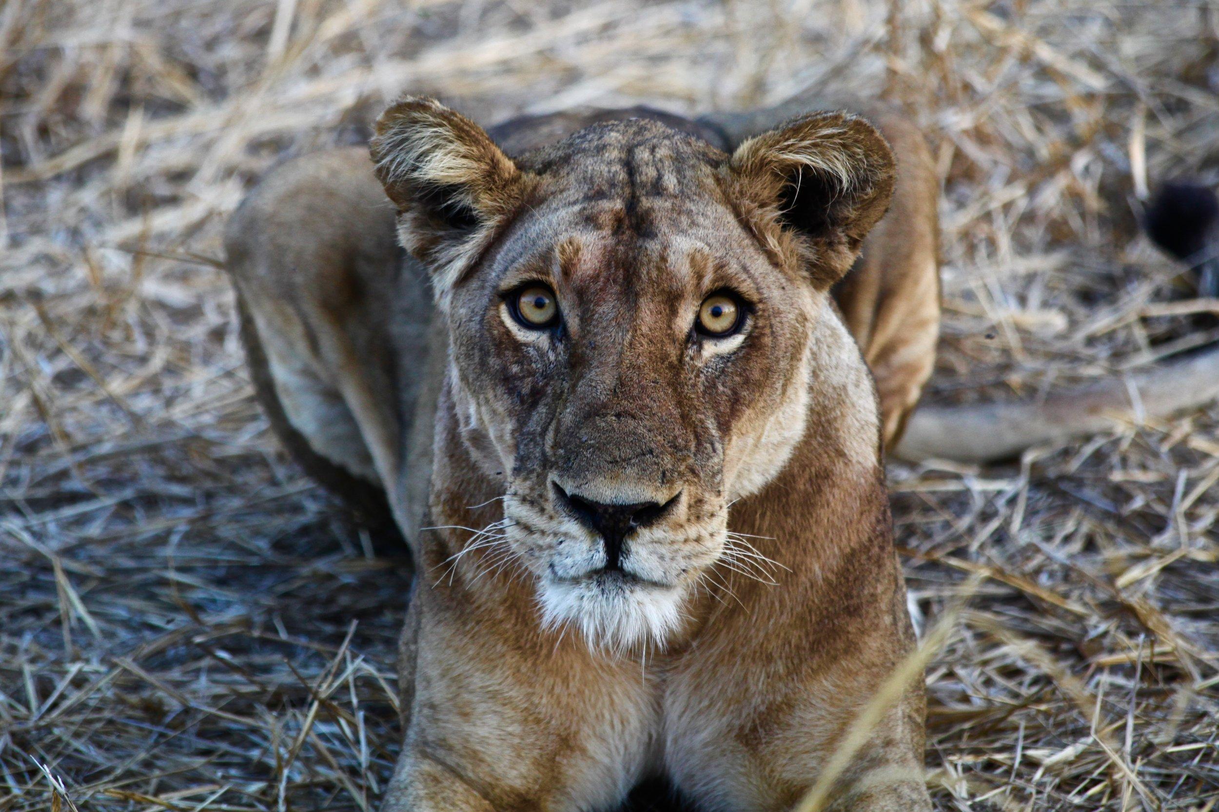 lion_naturephoto.jpeg
