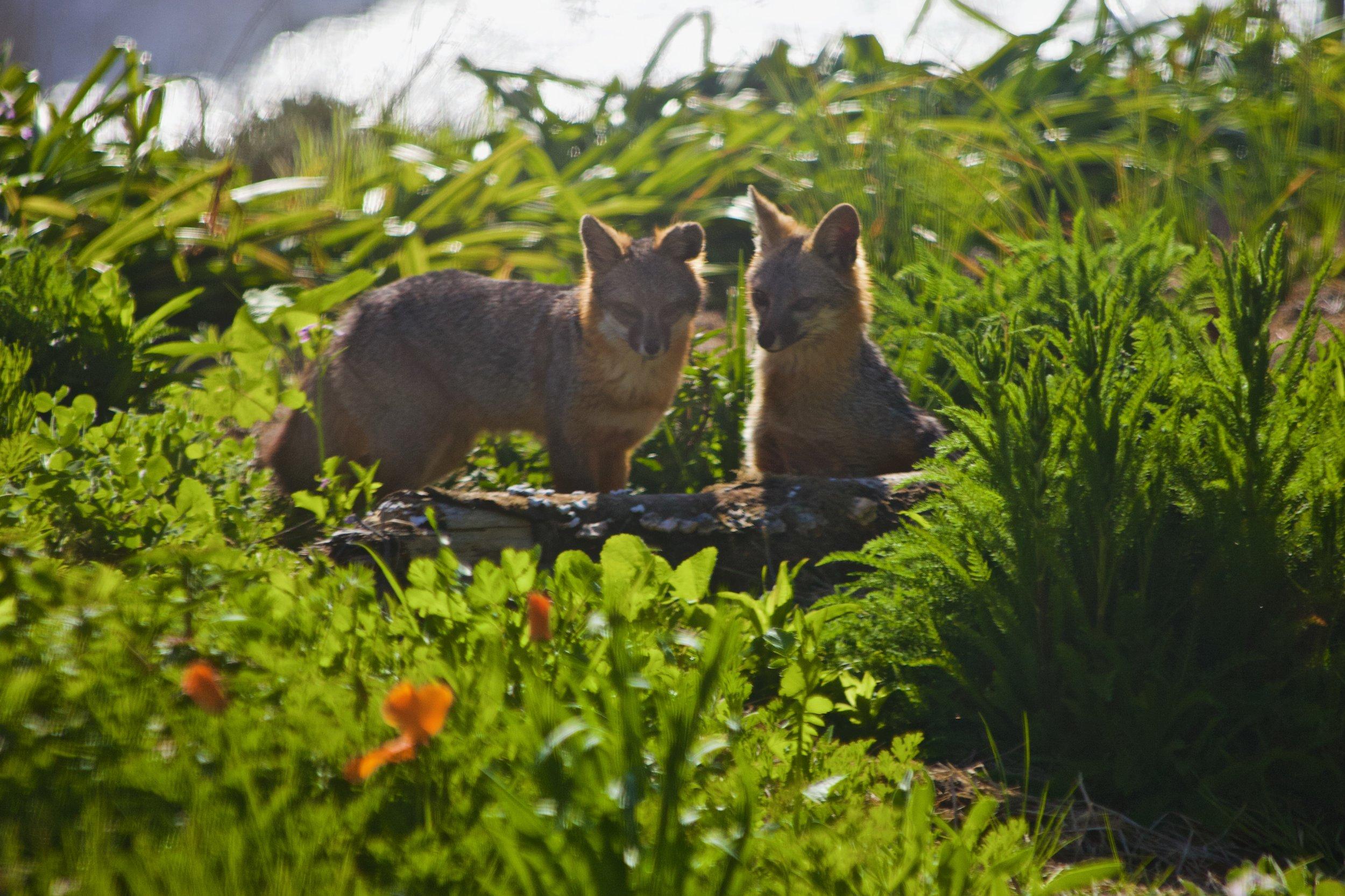 fox_nature.jpeg