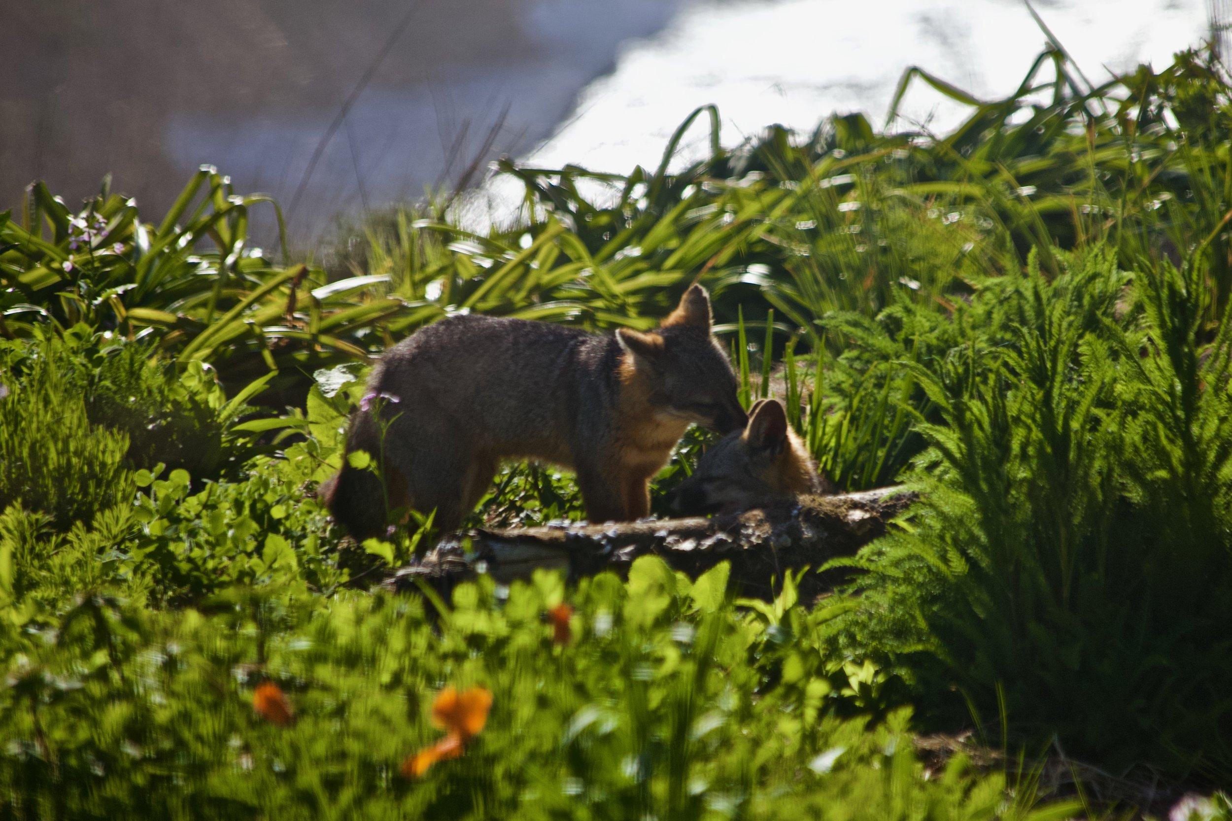 fox_nature2.jpeg
