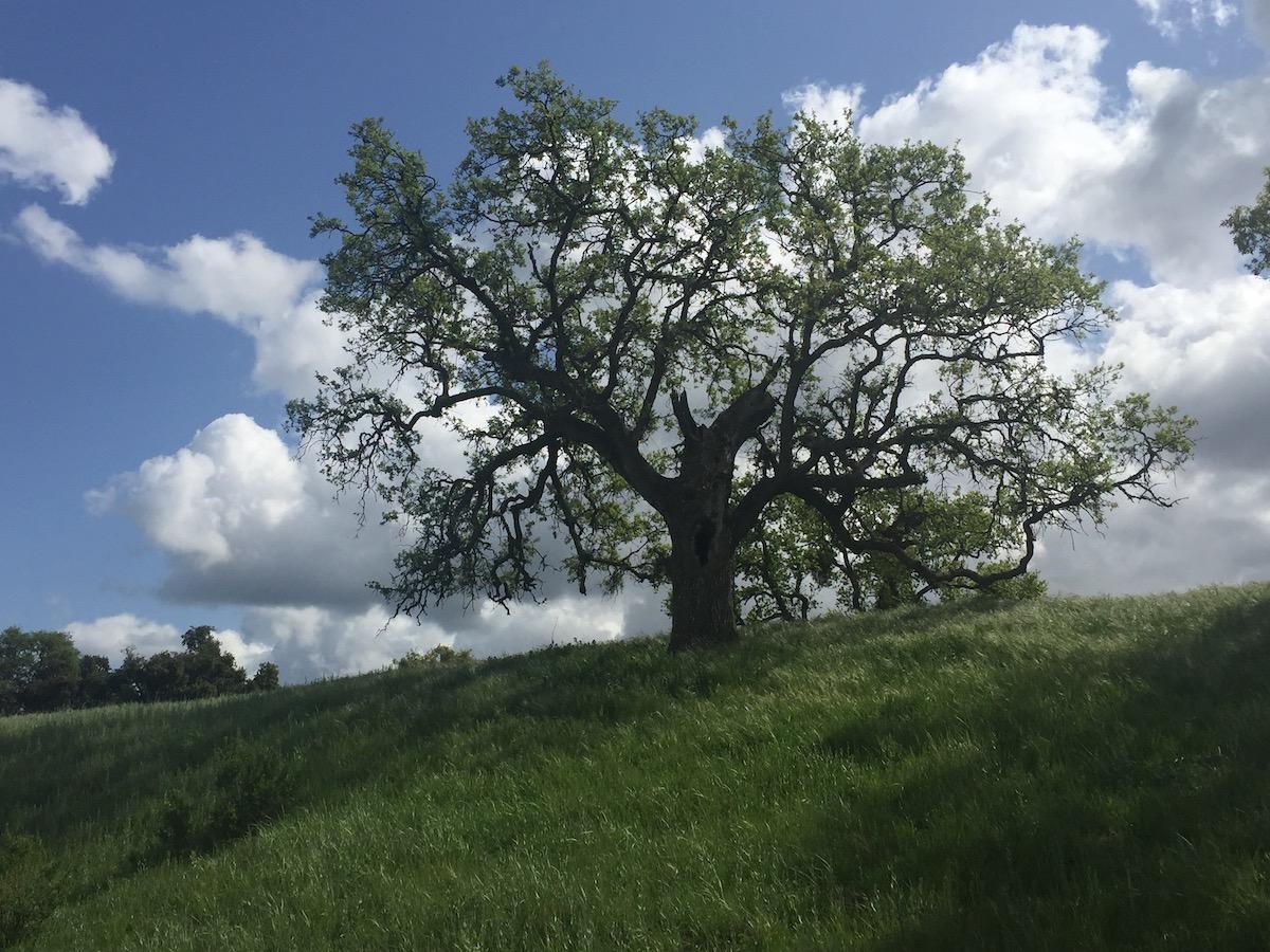 Oak_CU.jpeg