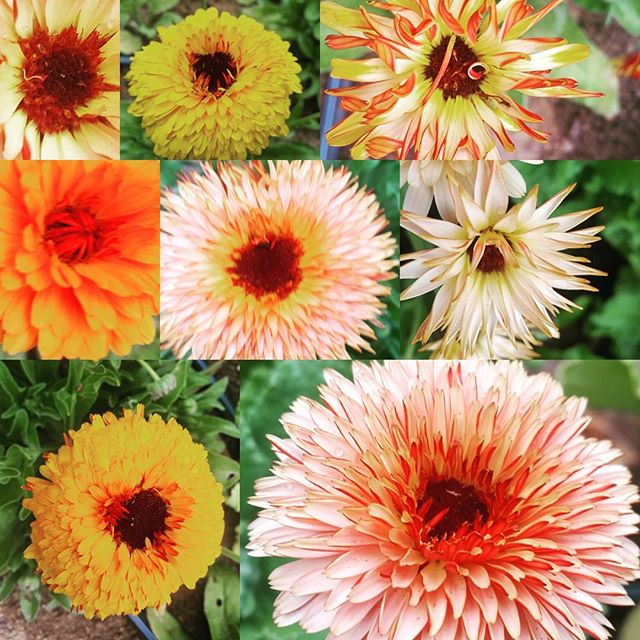 The many faces of calendula!  #Calendula #organicreno #edibleflowers #flowers