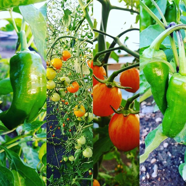 Peppers and tomatoes, classic! #nevadagrown #organicreno #organic #tomatoes #peppers #marketgardener