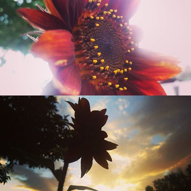 Same sunflower, same time, different perspectives.  #deepthoughts #sunflower #sunset #renosunset