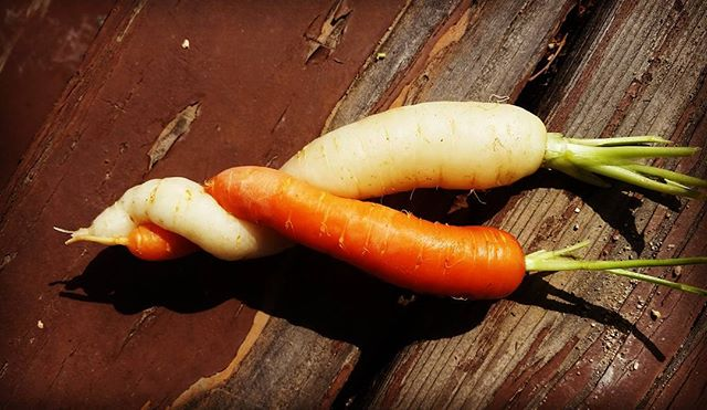 I can't quit you, carrot!  #carrots #organicreno #organic #orange On sale now @greatbasinfoodcoop !!!