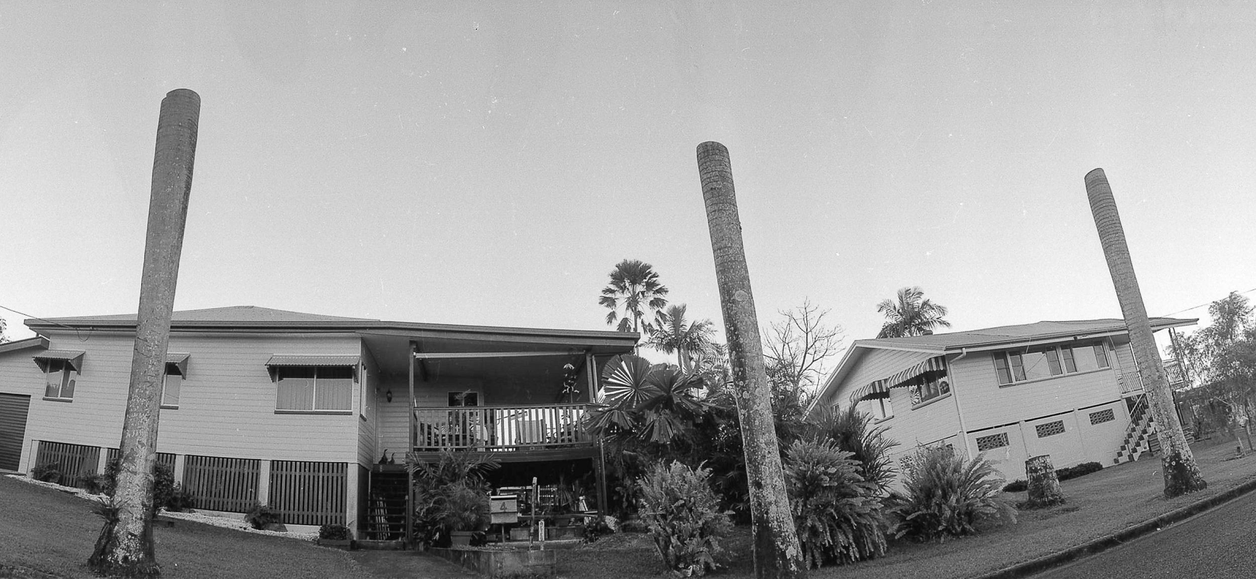 Three dead palm trees