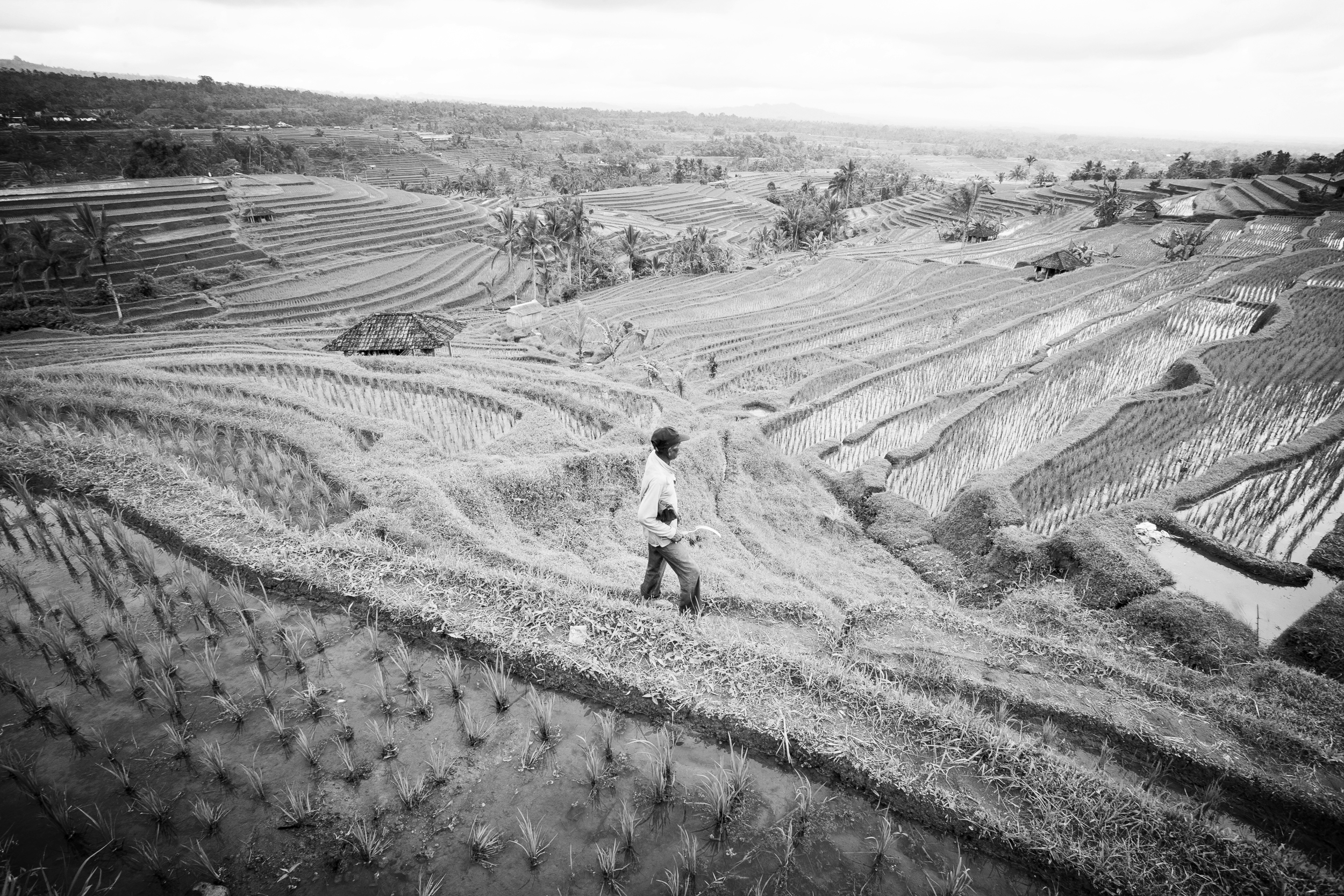 A man works in a rice paddy. Bali