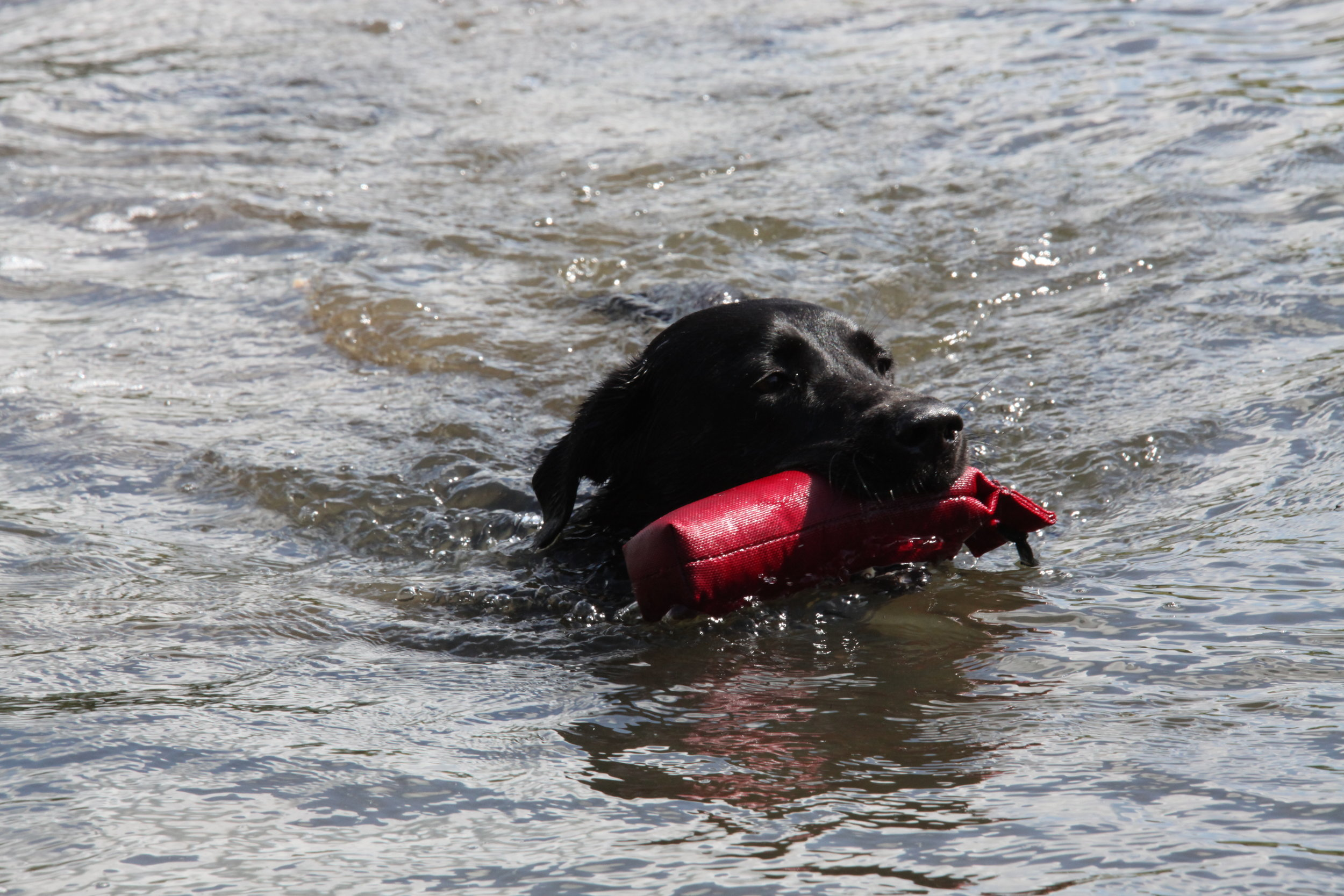 Can I really have too much swimming? - Dogs love swimming
