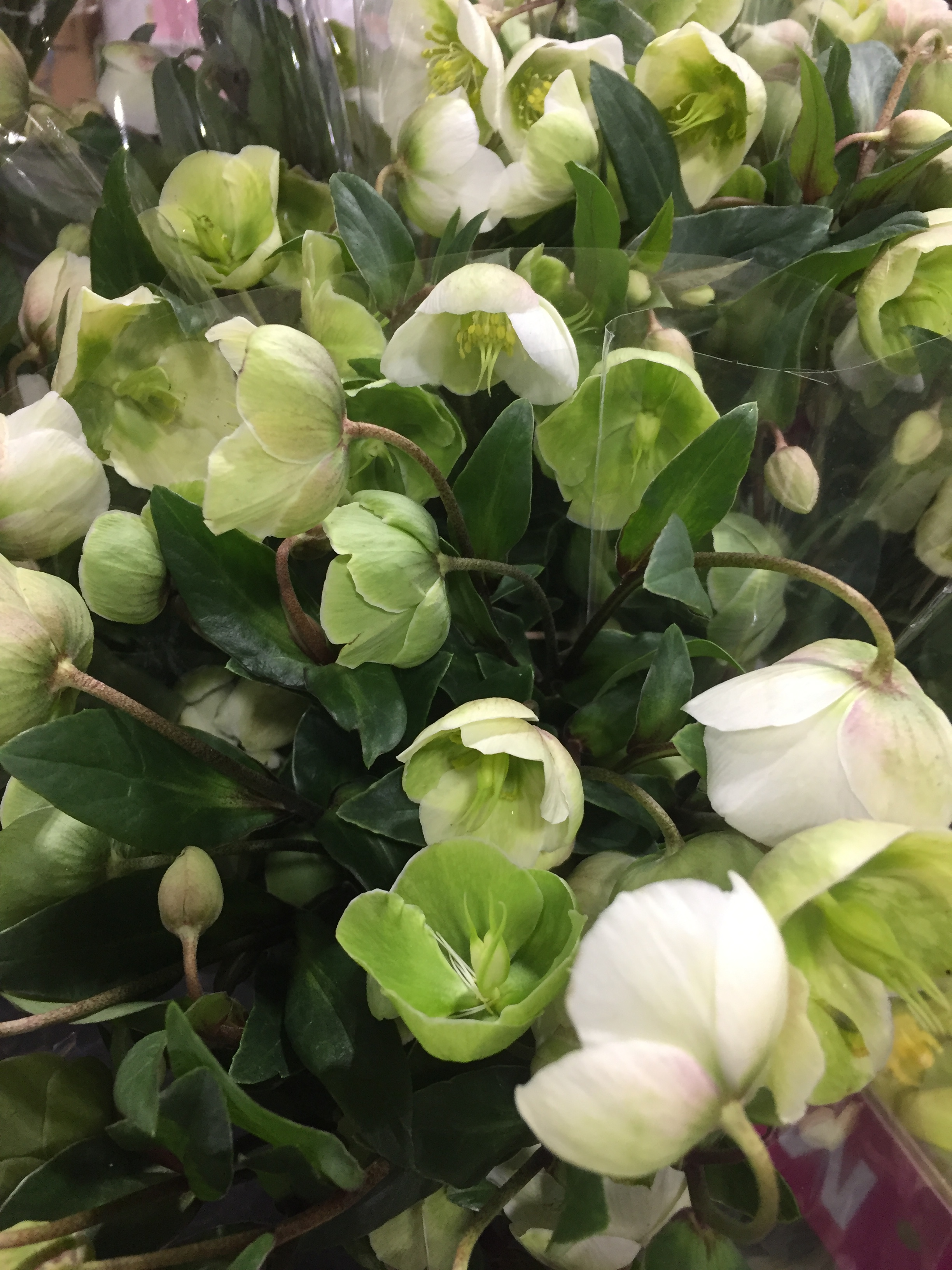 Hellebores @New England Flower Exchange