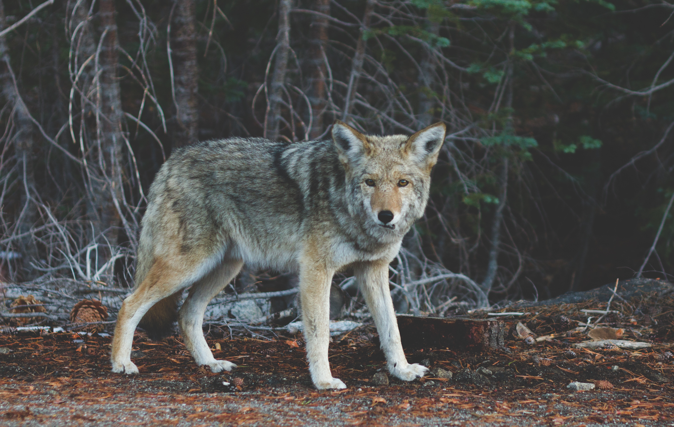Coyote — Times To Hunt
