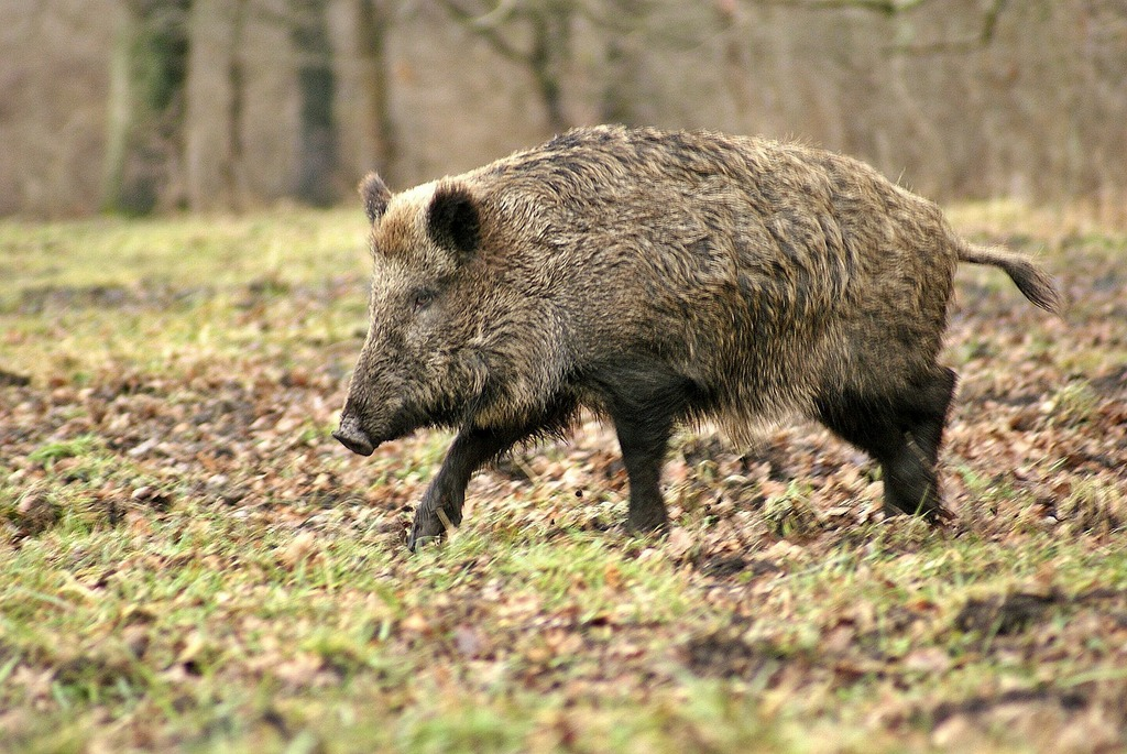 Hog Hunting 12 States Where You Can Hunt Them Year Round Why You Should Times To Hunt