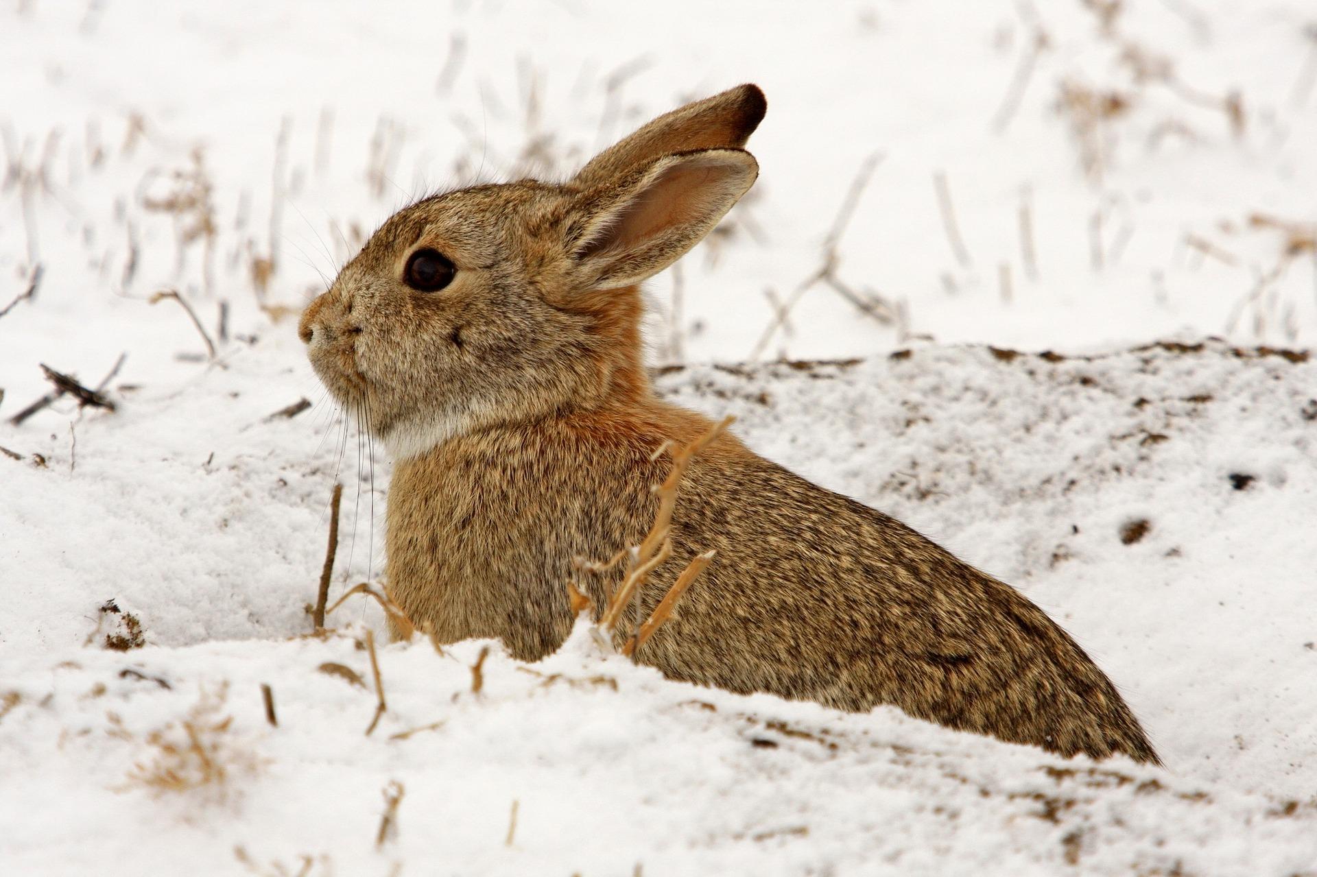 winter rabbit.jpg