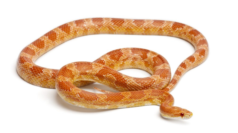 $20 off - Corn Snakes (select colors)
