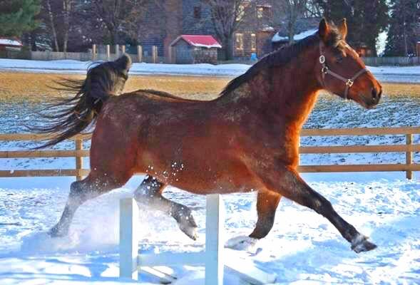 Purebred mare Willow Ballare; Photo credit - Carlene Kerr