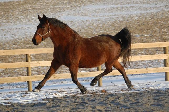 Willow Ballare - pure Cleveland Bay mare imported to the US as a weanling in 2001.