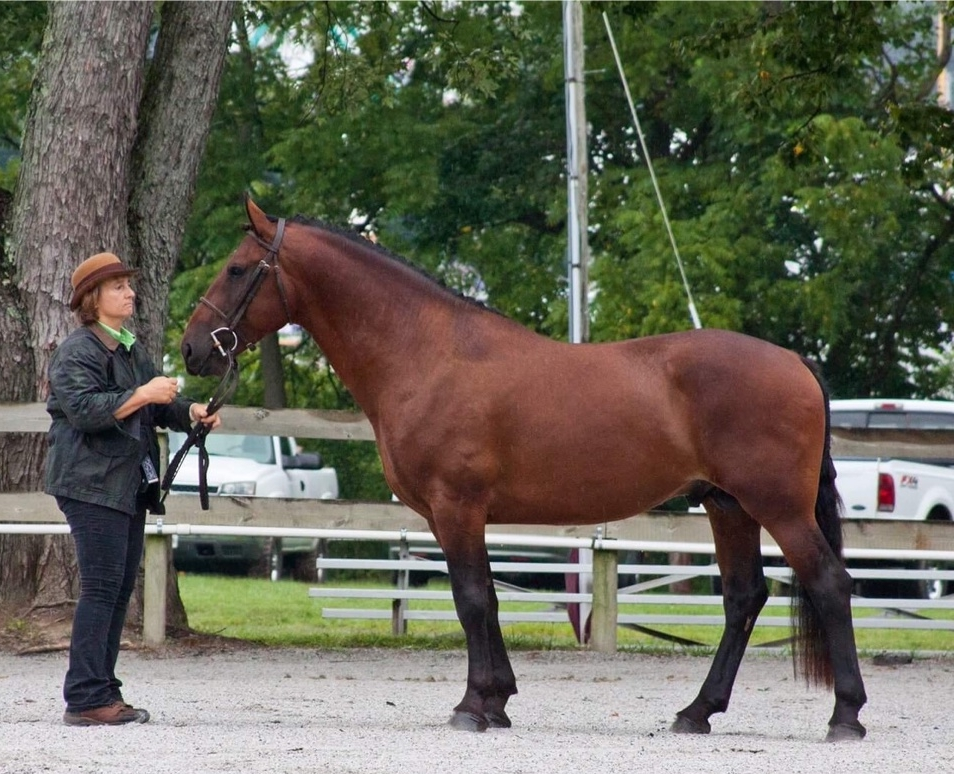 Arena Maestro at age 4.  Howard Country Fair Cleveland Bay Division - shown by Marcia Brody.