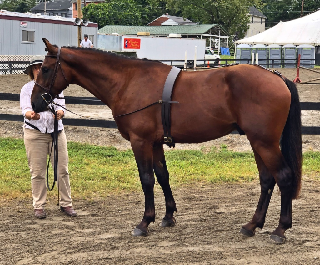 Gaylord Ivanhoe at 2.5 years. Warrenton Horse Show Cleveland Bay Division - shown by Marcia Brody. This was Ivan's first show.
