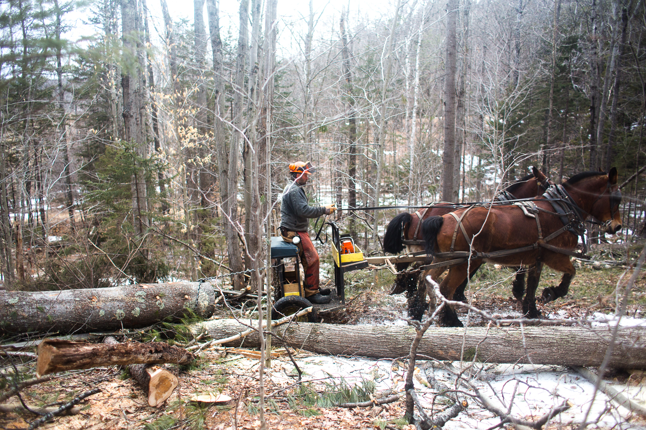 Russel Forestry Services draft horse logging at Stitchdown Farm