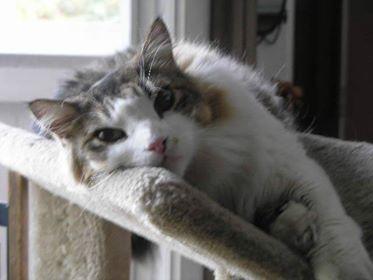Norwegian Feline Fur.jpg- the CAT.jpg