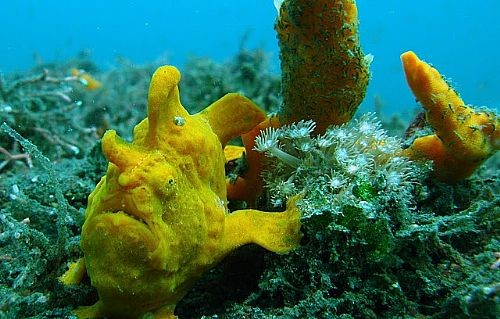 Rather cute but ugly frog fish walking on the bottom