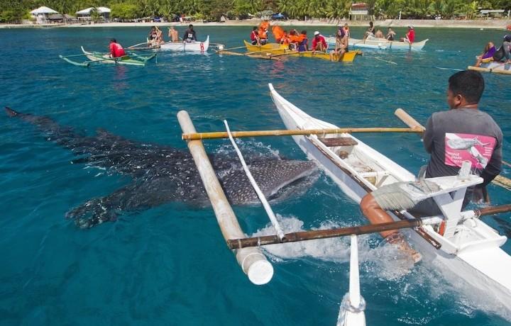 Whale Shark feed at Oslob, Cebu Island